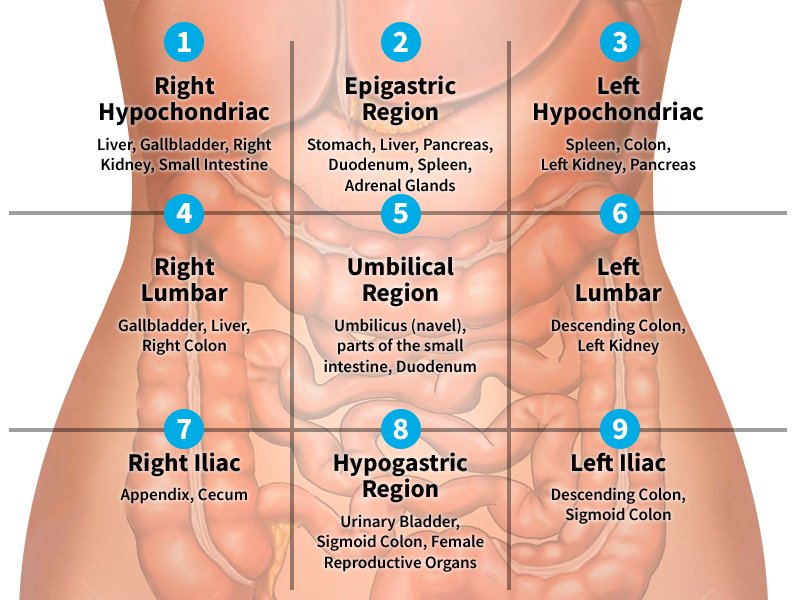 9 regions of the abdomen